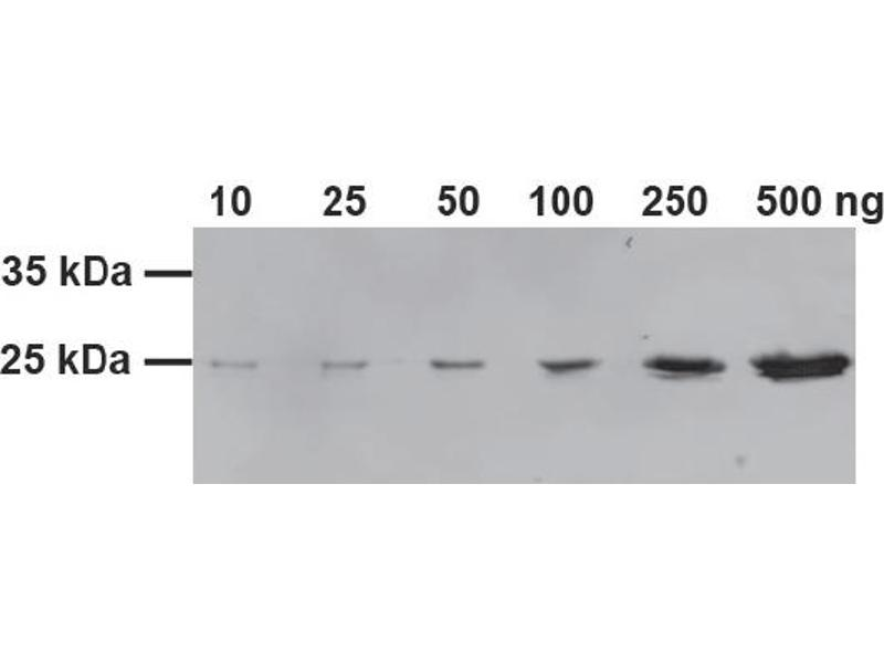 Western Blotting (WB) image for GST-Trap (ABIN1082203)