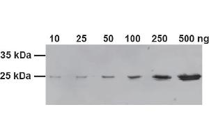 Image no. 3 for GST VHH, recombinant binding protein (GST-Trap) (ABIN1082203)
