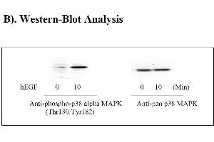 Image no. 3 for Mitogen-Activated Protein Kinase 14 (MAPK14) ELISA Kit (ABIN625242)