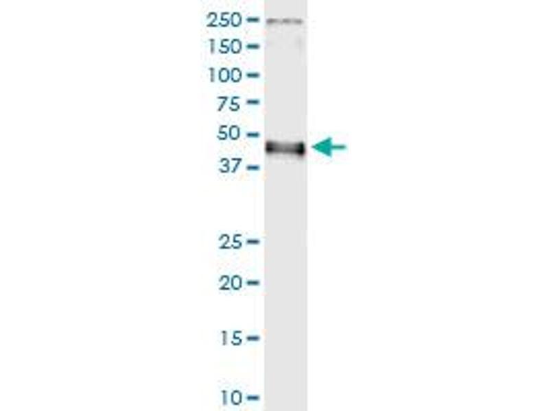 Immunoprecipitation (IP) image for anti-Interferon Regulatory Factor 9 (IRF9) (AA 1-393), (full length) antibody (ABIN523770)