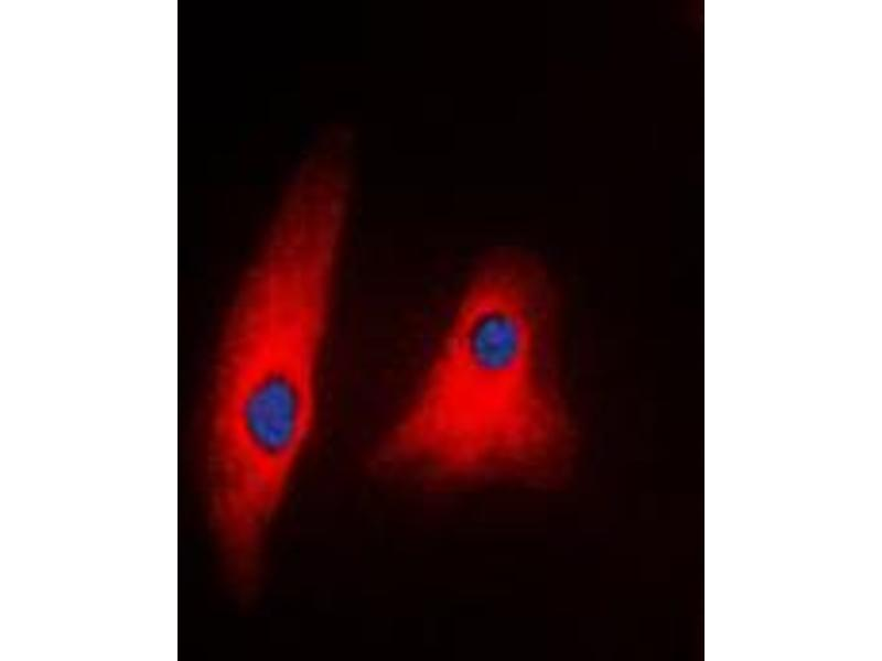 Immunofluorescence (IF) image for anti-phospholipase C, gamma 1 (PLCG1) (C-Term) antibody (ABIN2705141)