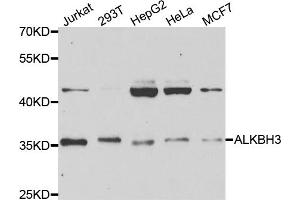 Image no. 1 for anti-AlkB, Alkylation Repair Homolog 3 (E. Coli) (ALKBH3) antibody (ABIN6570128)