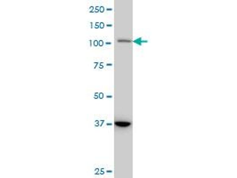 Western Blotting (WB) image for anti-Signal Transducer and Activator of Transcription 2, 113kDa (STAT2) (AA 742-851), (partial) antibody (ABIN563025)