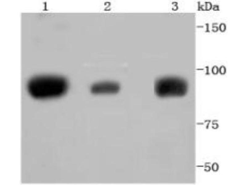 Western Blotting (WB) image for anti-Signal Transducer and Activator of Transcription 5A (STAT5A) (C-Term) antibody (ABIN5947593)