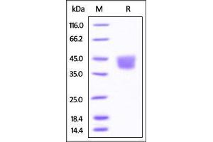 Image no. 1 for CD276 Molecule (CD276) (AA 29-244) protein (His tag) (ABIN4949154)