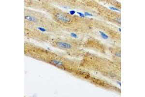 Image no. 1 for anti-HCLS1 Associated Protein X-1 (HAX1) (full length) antibody (ABIN6005180)