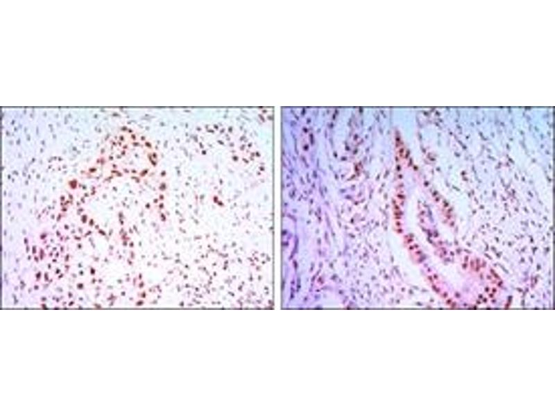 Immunohistochemistry (IHC) image for anti-CDC27 antibody (Cell Division Cycle 27 Homolog (S. Cerevisiae)) (ABIN1106637)