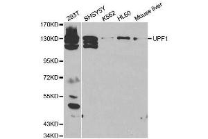 Image no. 2 for anti-UPF1 Regulator of Nonsense Transcripts Homolog (Yeast) (UPF1) antibody (ABIN3022069)