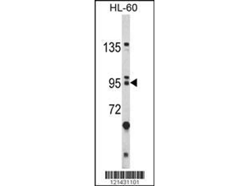 Western Blotting (WB) image for anti-BICC1 antibody (Bicaudal C Homolog 1 (Drosophila)) (AA 80-107) (ABIN390954)