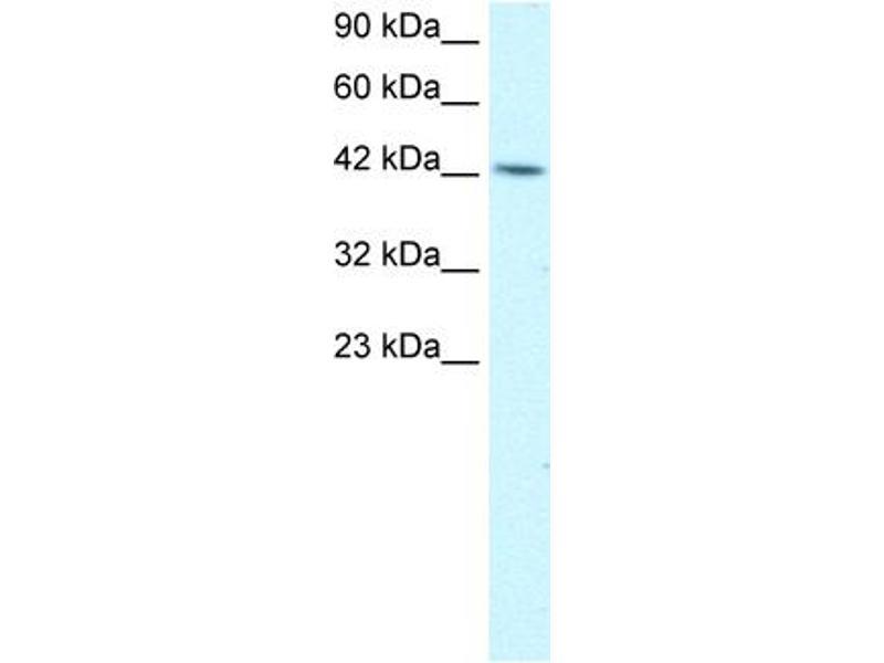 Western Blotting (WB) image for anti-Transcription Factor AP-4 (Activating Enhancer Binding Protein 4) (TFAP4) (C-Term) antibody (ABIN182812)