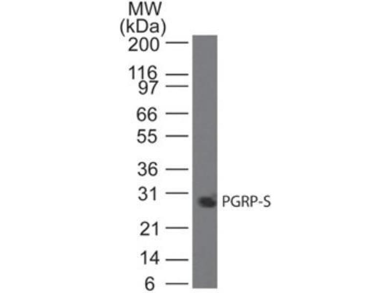 Western Blotting (WB) image for anti-Peptidoglycan Recognition Protein 1 (PGLYRP1) antibody (ABIN252659)