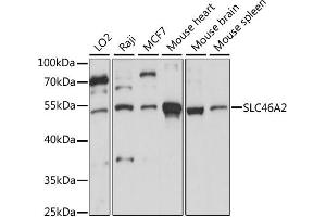 Image no. 1 for anti-Solute Carrier Family 46 Member 2 (SLC46A2) antibody (ABIN6293745)