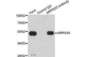 Image no. 4 for anti-Mitochondrial Ribosomal Protein S30 (MRPS30) antibody (ABIN6570152)