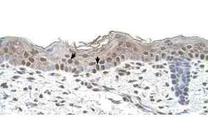 Image no. 4 for anti-Arrestin, beta 2 (ARRB2) (Middle Region) antibody (ABIN2783190)