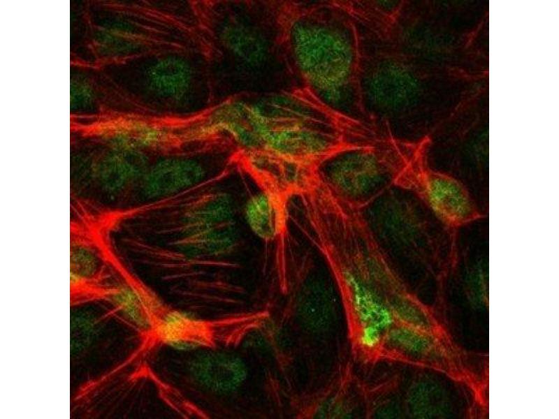 Immunofluorescence (IF) image for anti-Jun Proto-Oncogene (JUN) antibody (ABIN4285648)