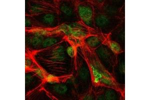 Immunofluorescence (IF) image for anti-Jun Proto-Oncogene (JUN) antibody (ABIN4285648)