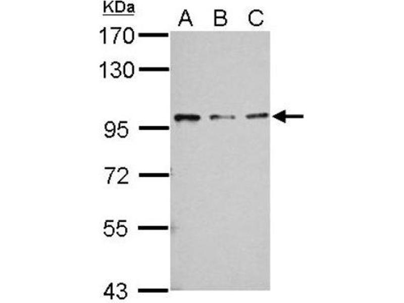 Western Blotting (WB) image for anti-RASA4 抗体 (RAS P21 Protein Activator 4) (N-Term) (ABIN4349400)