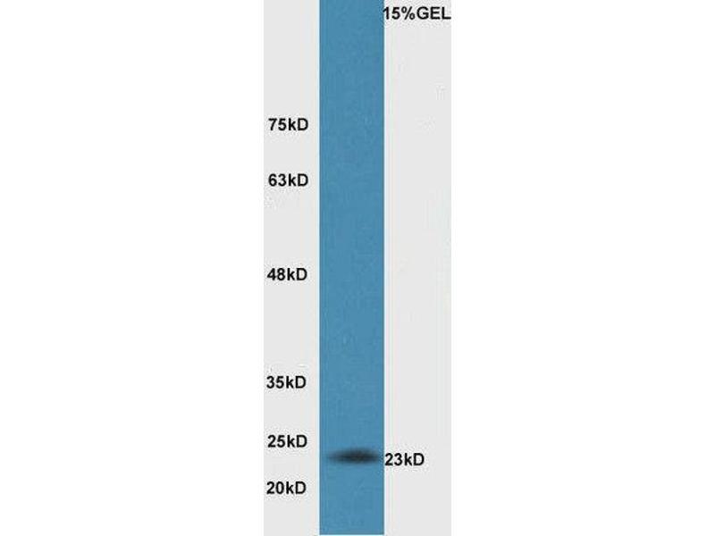 Western Blotting (WB) image for anti-BCL2-Antagonist/killer 1 (BAK1) (AA 20-65) antibody (ABIN674409)