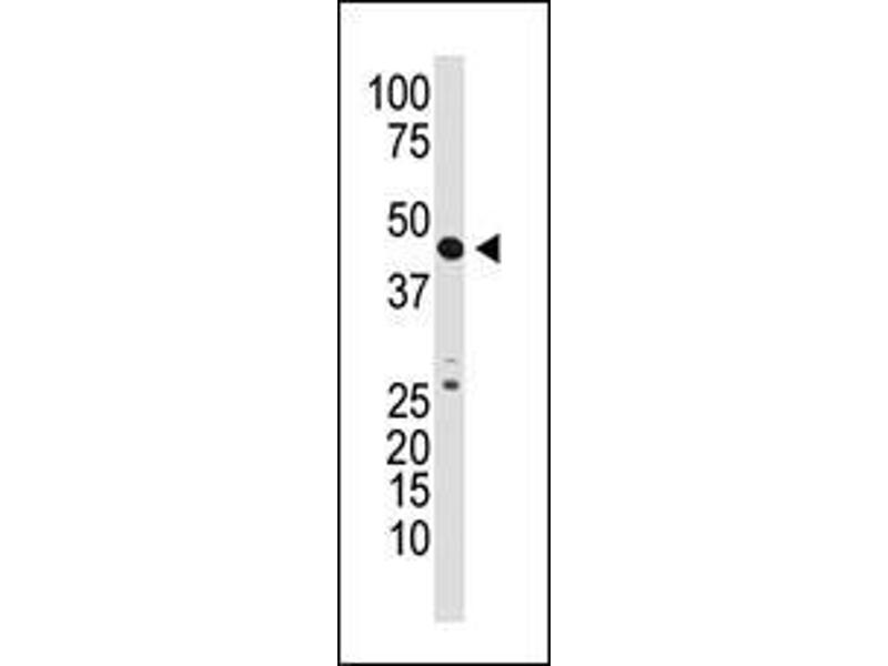 Western Blotting (WB) image for anti-Growth Differentiation Factor 3 (GDF3) (AA 21-52), (N-Term) antibody (ABIN388818)