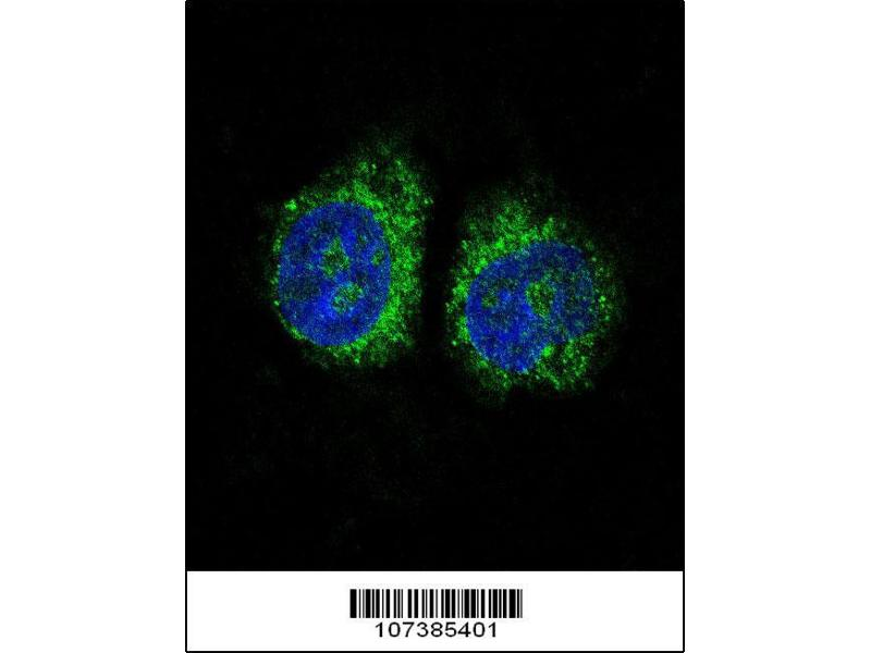 Immunofluorescence (IF) image for anti-Nuclear Receptor Subfamily 4, Group A, Member 2 (NR4A2) (AA 13-42), (N-Term) antibody (ABIN390383)