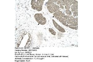 Image no. 3 for anti-Mortality Factor 4 Like 1 (MORF4L1) (Middle Region) antibody (ABIN2777616)