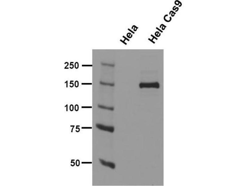 Western Blotting (WB) image for anti-CAS9 antibody (ABIN5563965)
