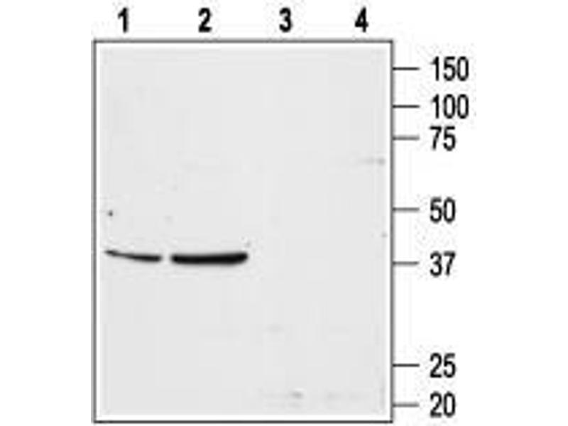 Western Blotting (WB) image for anti-Angiotensin II Type-1 Receptor antibody (Angiotensin II Receptor, Type 1) (AA 4-18) (ABIN1742173)