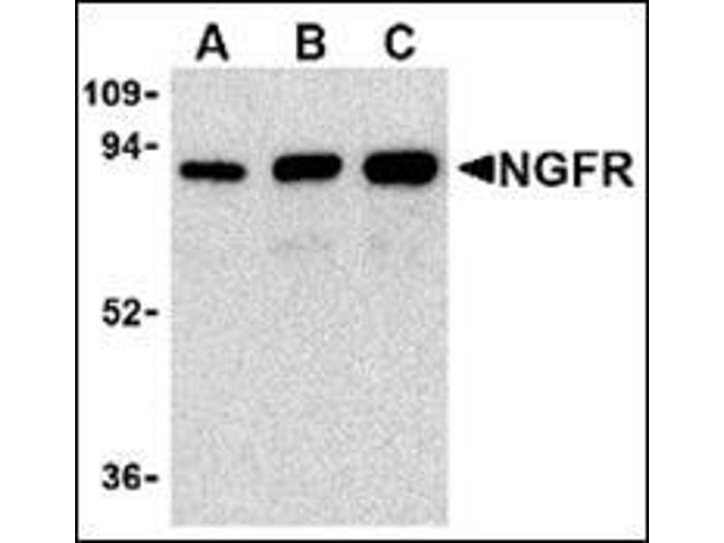 Western Blotting (WB) image for anti-NGFR antibody (Nerve Growth Factor Receptor) (ABIN500337)