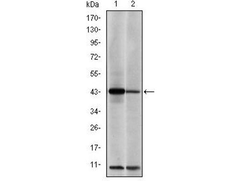 Western Blotting (WB) image for anti-C-JUN antibody (Jun Proto-Oncogene) (ABIN1105389)