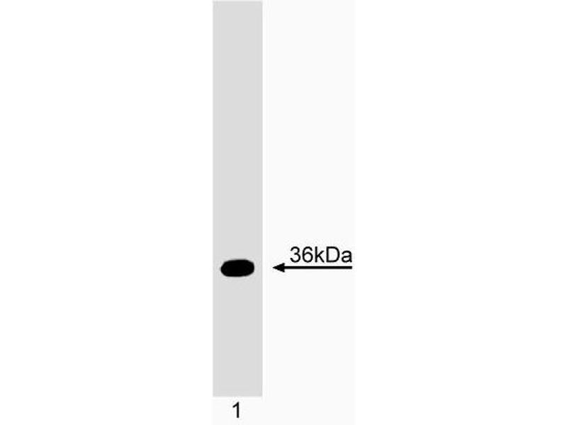 Western Blotting (WB) image for anti-TNFRSF1A-Associated Via Death Domain (TRADD) (AA 14-62) antibody (ABIN967541)