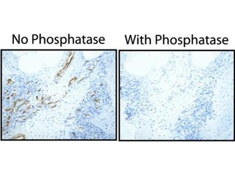 Immunohistochemistry (IHC) image for anti-Caveolin 2 antibody (CAV2) (pTyr27) (ABIN967595)