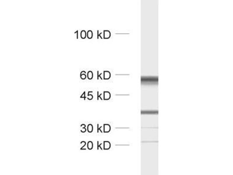 Western Blotting (WB) image for anti-TUBB3 antibody (Tubulin, Beta, 3) (AA 443-450) (ABIN1742553)