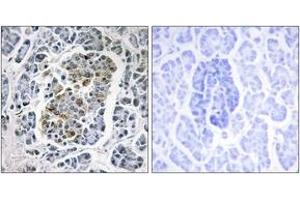 Image no. 2 for anti-Single-Stranded DNA Binding Protein 1 (SSBP1) (AA 99-148) antibody (ABIN1533835)