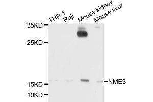 Image no. 1 for anti-NME/NM23 Nucleoside Diphosphate Kinase 3 (NME3) antibody (ABIN6717574)