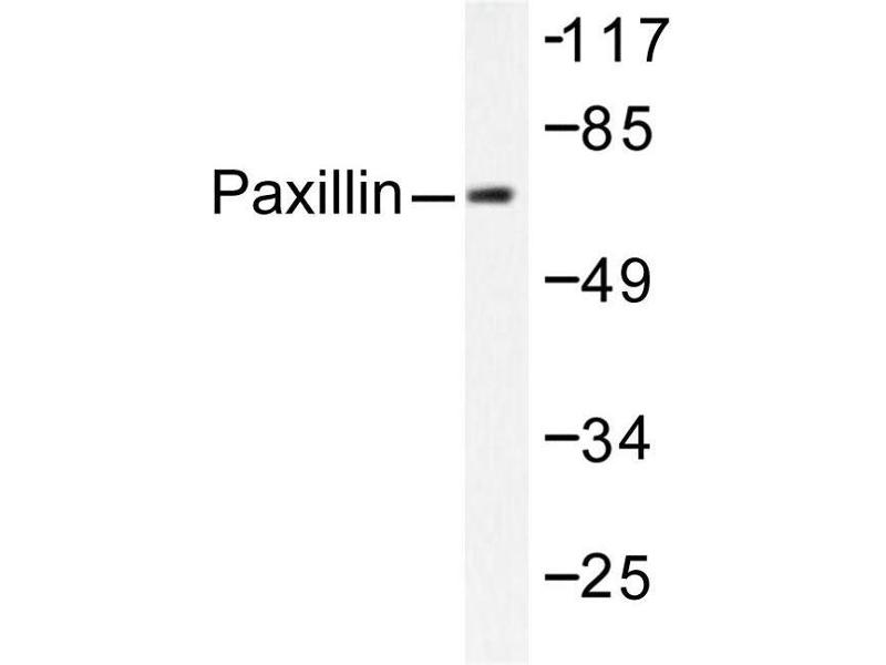 image for anti-Paxillin (PXN) antibody (ABIN271779)