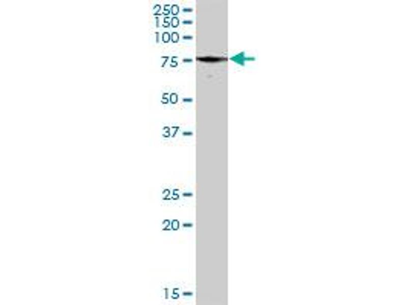 Western Blotting (WB) image for anti-Paxillin (PXN) (AA 1-262), (full length) antibody (ABIN519563)