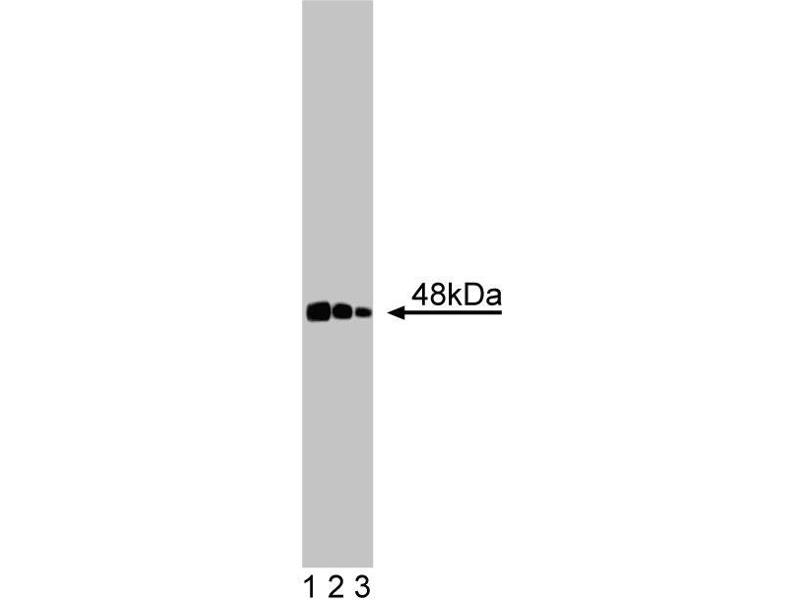Western Blotting (WB) image for anti-CTBP1 antibody (C-terminal Binding Protein 1) (AA 345-441) (ABIN968722)