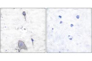 Image no. 2 for anti-Signal-Regulatory Protein alpha (SIRPA) (AA 451-500) antibody (ABIN1533397)
