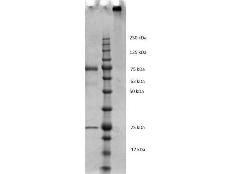 SDS-PAGE (SDS) image for Mouse IgM isotype control (ABIN964517)