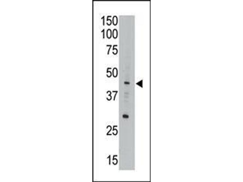 Western Blotting (WB) image for anti-APOBEC3G antibody (Apolipoprotein B MRNA Editing Enzyme, Catalytic Polypeptide-Like 3G) (AA 118-148) (ABIN388141)