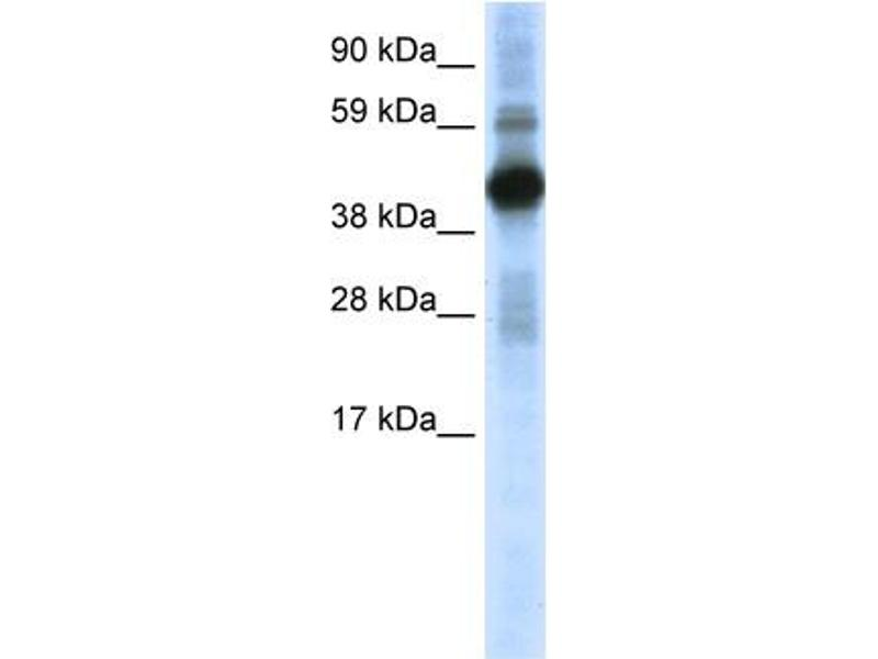 Western Blotting (WB) image for anti-CREB1 antibody (CAMP Responsive Element Binding Protein 1) (N-Term) (ABIN2780104)
