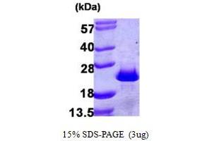 Image no. 1 for Programmed Cell Death 6 (PDCD6) (AA 1-191) protein (His tag) (ABIN667892)