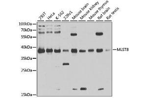 Image no. 3 for anti-mTOR Associated Protein, LST8 Homolog (MLST8) antibody (ABIN3021324)
