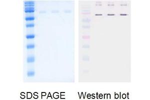 Western Blotting (WB) image for Influenza B (Nucleoprotein) protein (ABIN3172541)