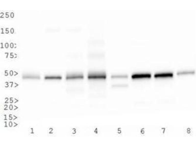 Western Blotting (WB) image for anti-CD4 antibody (CD4 Molecule) (C-Term) (ABIN439030)