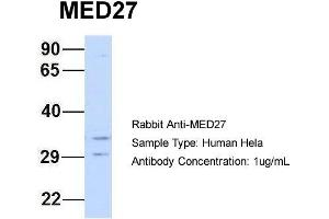 Image no. 2 for anti-Mediator Complex Subunit 27 (MED27) (Middle Region) antibody (ABIN2778099)