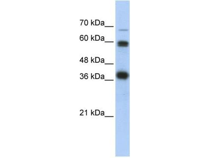 Western Blotting (WB) image for anti-Nuclear Respiratory Factor 1 (NRF1) (N-Term) antibody (ABIN501698)