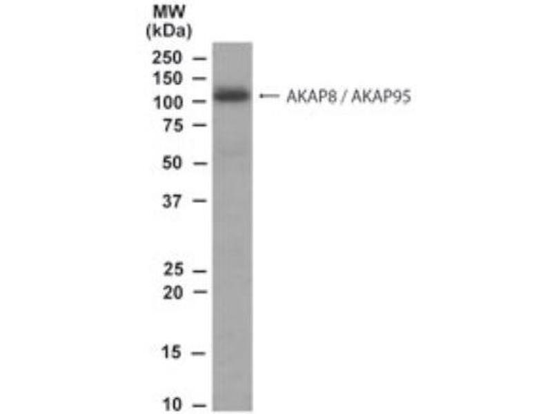 Western Blotting (WB) image for anti-AKAP8 antibody (A Kinase (PRKA) Anchor Protein 8) (N-Term) (ABIN250209)