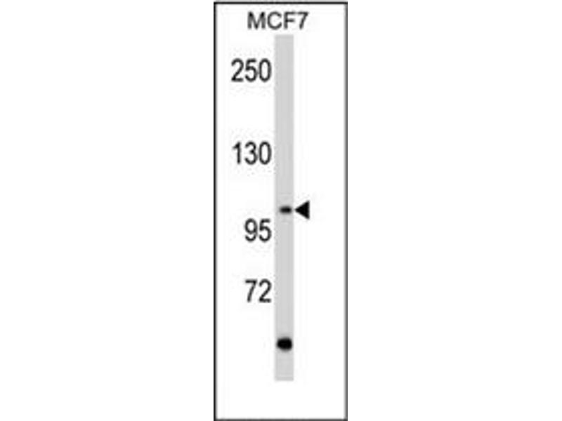 image for anti-Ret Proto-Oncogene antibody (RET) (AA 21-51) (ABIN359926)