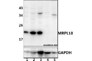 Image no. 1 for anti-Mitochondrial Ribosomal Protein L18 (MRPL18) (AA 7-51) antibody (ABIN6711072)